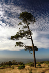 Pine tree on the shore of the ocean
