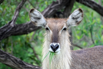 The female Waterbuck eats grass and looking at the camera,