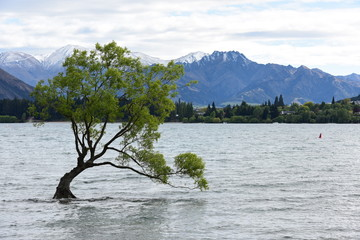 Willow tree in Wanaka lake