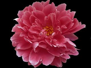 Красный цветок на черном фоне