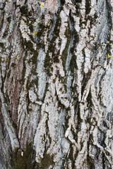 bark pine