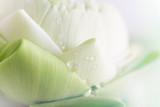 lotus closeup background