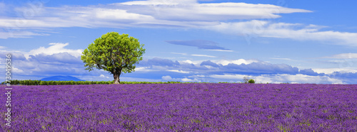 Fototapeta Panoramic view of lavender field with tree