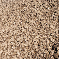 Pile of sugar beets