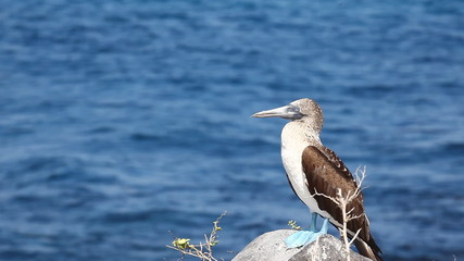 A Blue-footed Booby, Sula nebouxii, in the Galapagos Islands