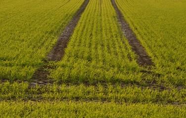 semis céréale