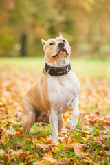 American staffordshire terrier sitting on the lawn in autumn