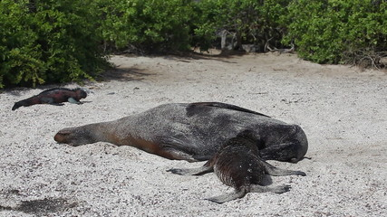 Galapagos Sea Lion, Zalophus wollebaeki, nursing young