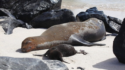 Galapagos Sea Lion, Zalophus wollebaeki, with young