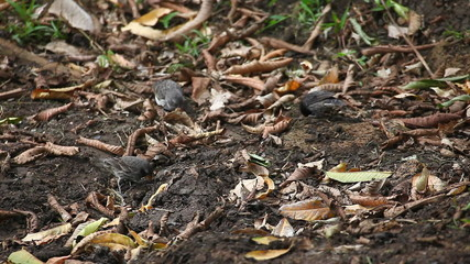 Small Ground Finch, Geospiza fuliginosa, from the Galapagos