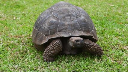 Galapagos Tortoise, Geochelone nigra