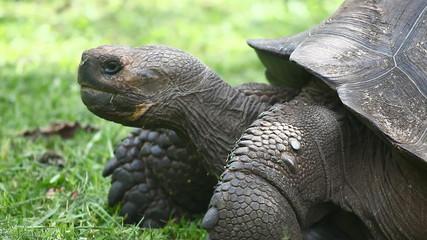 Galapagos Tortoise, Geochelone nigra, side view