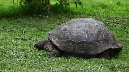 Galapagos Tortoise, Geochelone nigra, slowly moving