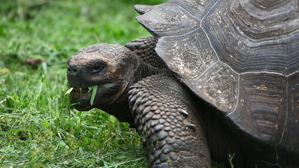 Galapagos Tortoise, Geochelone nigra, feeding