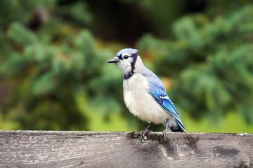 Blue jay on fence