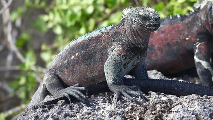 The Marine Iguana, Amblyrhynchus cristatus, from the Galapagos