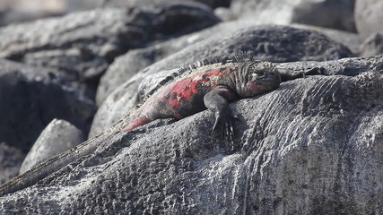 The Marine Iguana, Amblyrhynchus cristatus, from the Galapagos I
