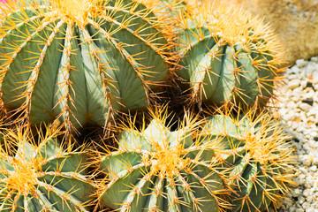 Ferocactus glaucescens, Cactaceae, Mexico