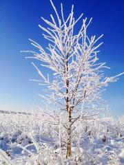 дерево покрытое инеем на фоне голубого неба