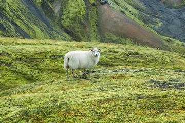 Cute sheep in Landmannalaugar
