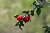 Bacche rosse di pungitopo (Ruscus aculeatus)