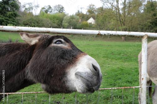 Foto Spatwand Ezel âne domestique (Equus asinus)