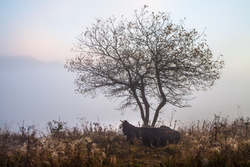 Cow grazing in green mountains with fog