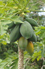 Papaya Shrub