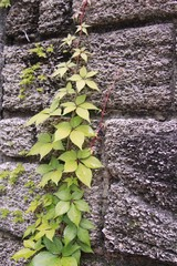 English ivy on a wall