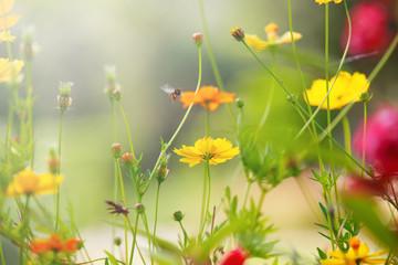 yellow cosmos flowers field