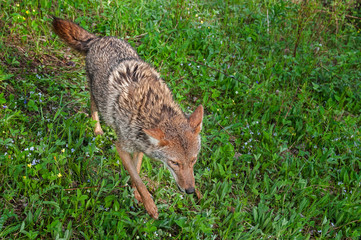 Adult Coyote (Canis latrans) Runs Through Grasses