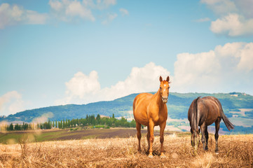 Horses grazing on the fields of Tuscan, Italy