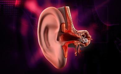 Ear anatomy