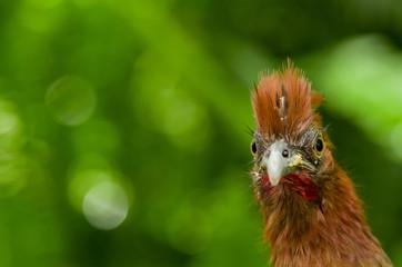 chachalaca ortalis erythroptera bird from Ecuador