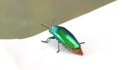 jewel beetle bug walking on table