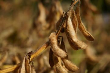 大豆の実り