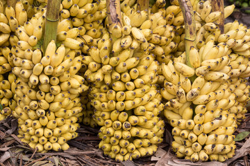 Bunch of ripe bananas background on the market in Sri Lanka