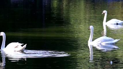 swan in chiangmai nightsafari chiangmai Thailand
