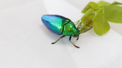 jewel beetle bug walking on table