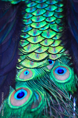 Textures and colors of the peacock - 73079352