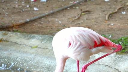 flamingo in chiangmai Thailand