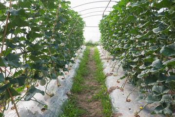 Japanese melon crop