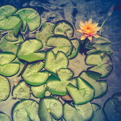 Retro Pink Water Lily And Pads