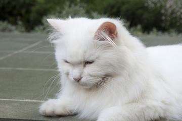 Goody-goody white cat.