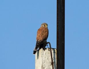 Kestrel sitting on column