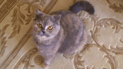cat sits on the carpet and looking up