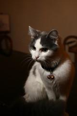 gattina