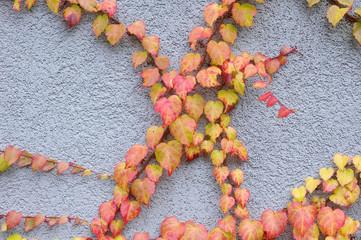 Wild vine branch on blue wall