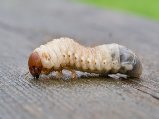 Larva of Rhinoceros beetle, Oryctes nasicornis. Huge maggot.