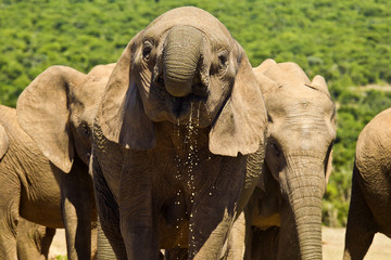 Large elephant drinking